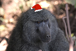 Holiday Baboon