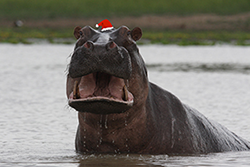 Holiday Hippo