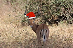 Holiday Impala