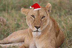 Holiday Lioness