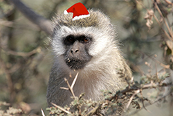 Holiday Monkey