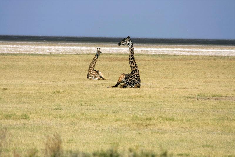 Giraffes Reclining