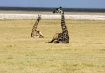 Siesta Time for Giraffes
