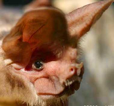 African Bat