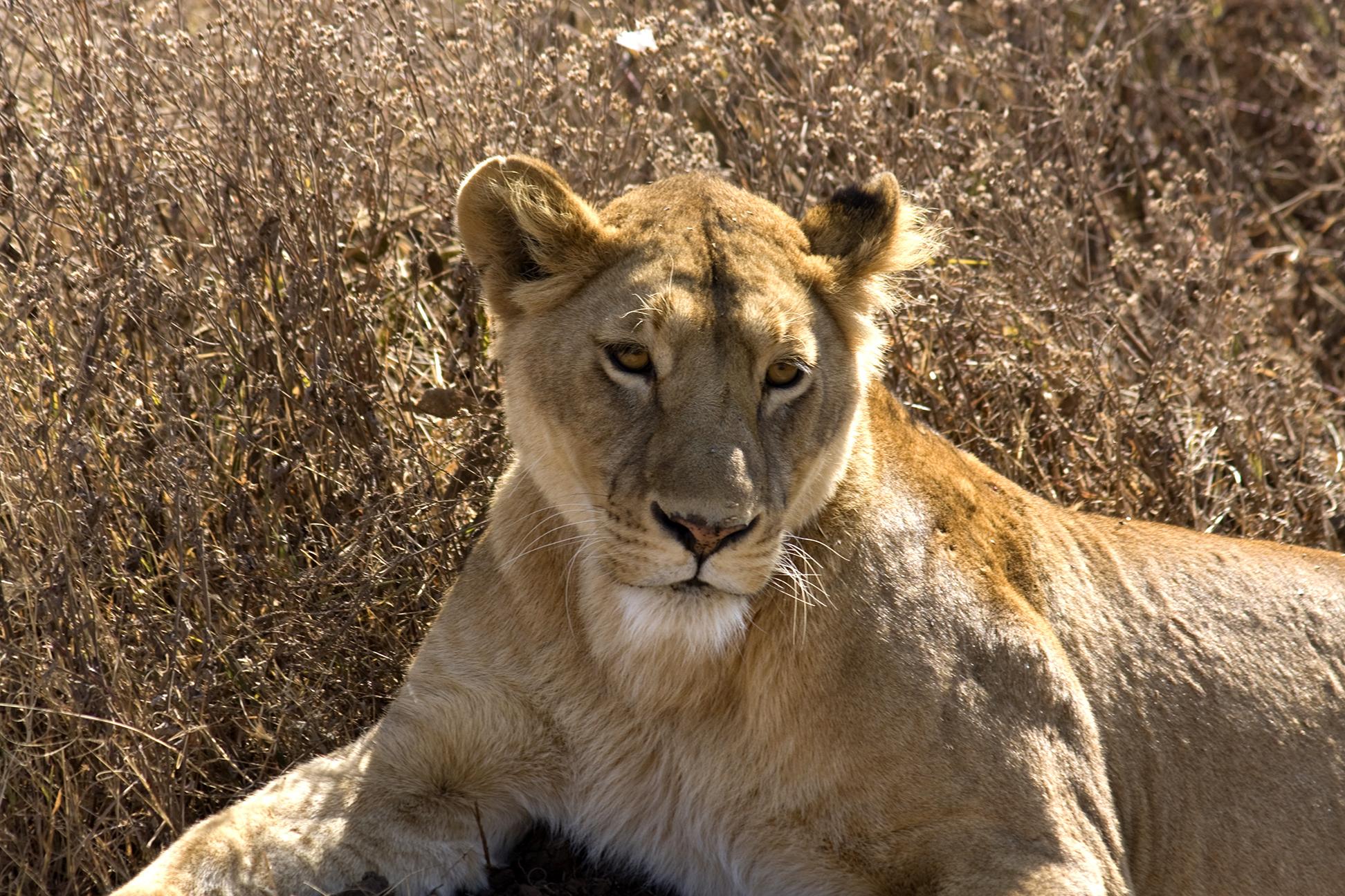 The Last Lions Infinite Safari Adventures Blog Infinite Safari