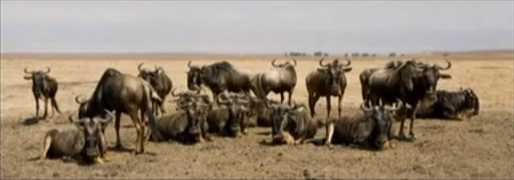 Wildebeest Image from A Tanzanian Photographic Odyssey Video