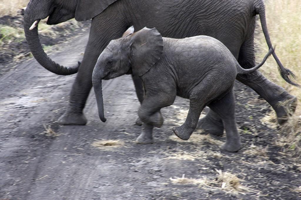 Serengeti Baby Elephant