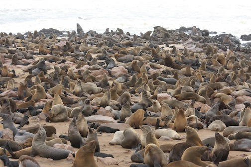 Cape Fur Seals at Cape Cross Seal Colony, Namibia Southern Africa