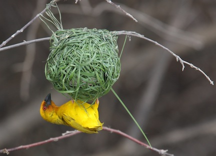 Weaver Bird on Safari in Tanzania