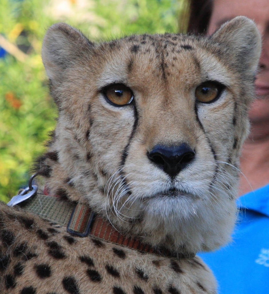 Victor the Cheetah