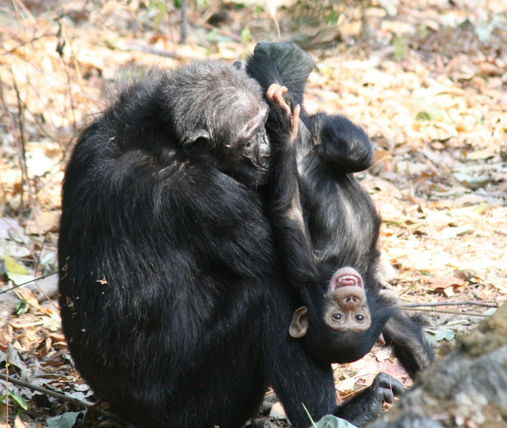 From the Same Family Tree - Chimpanzees