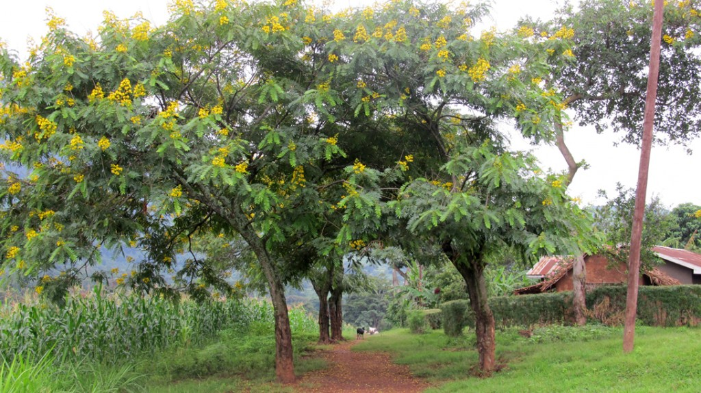 Flowering trees at the entrance to the Shilongo village