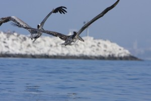 Santa Monica – Pelicans on the Bay