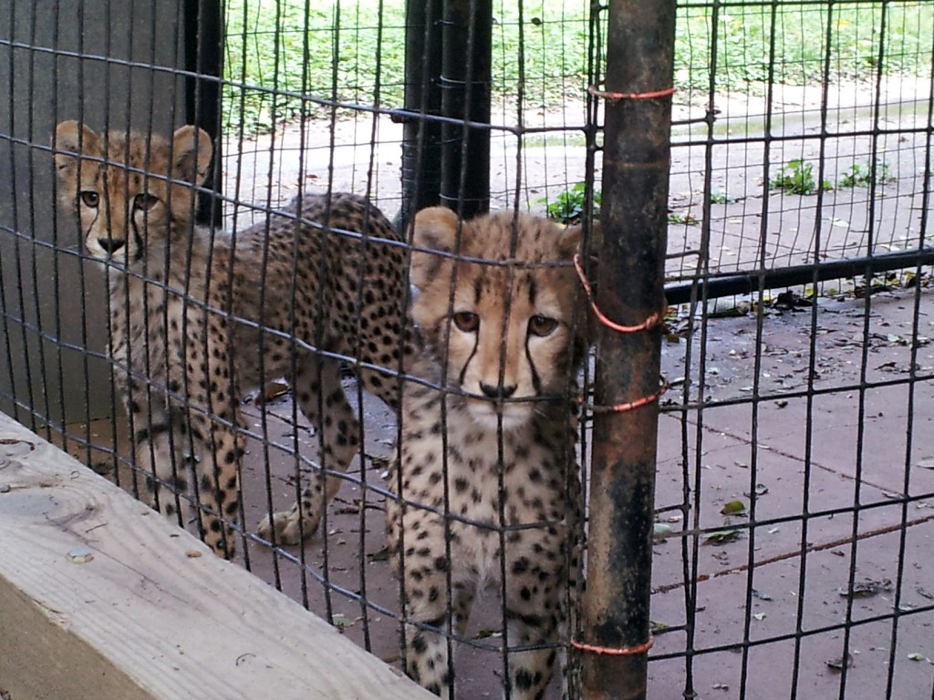Cheetah Cubs at the National Zoo