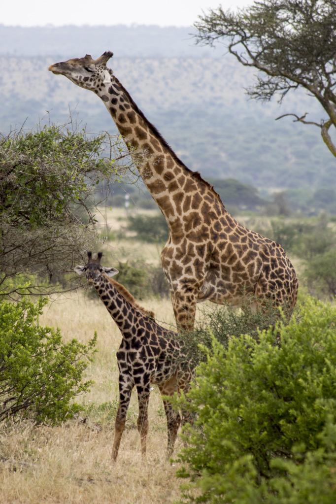 Baby giraffe with mama
