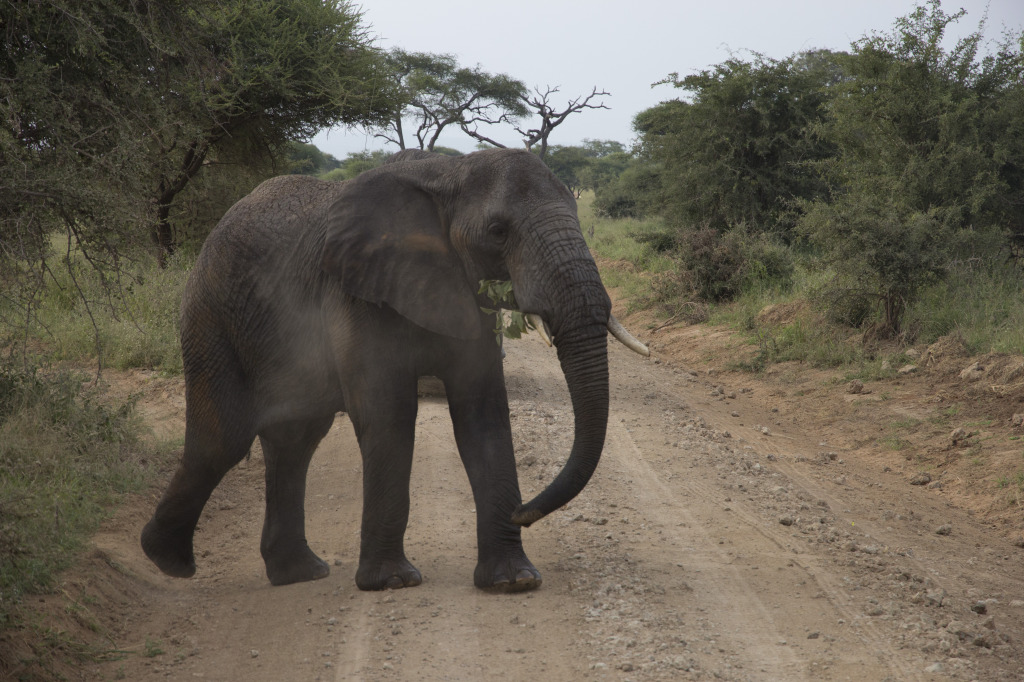 Oh! Excuse me, Elephant crossing…