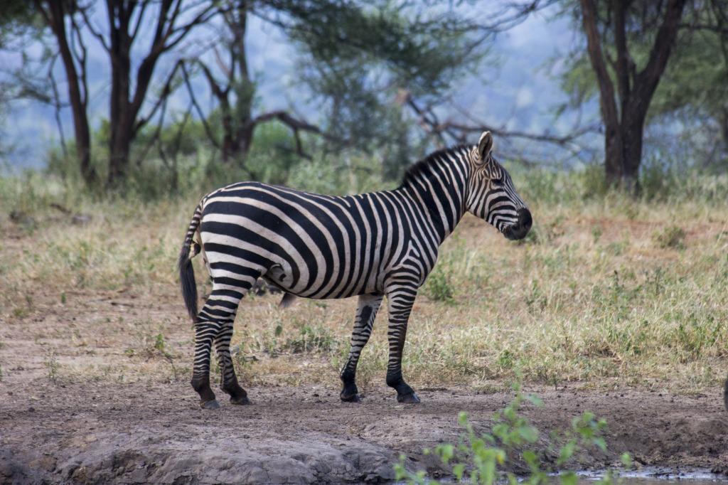 The Zebras were beautiful animals