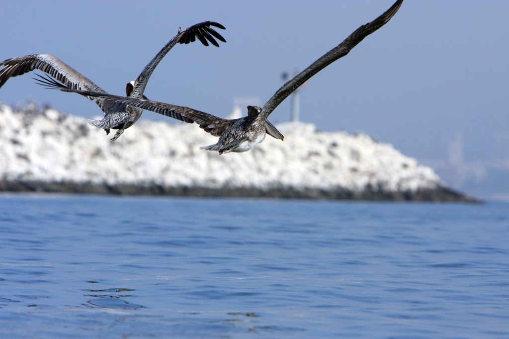 Pelicans - Just Another Beautifil Day in Marina Del Rey