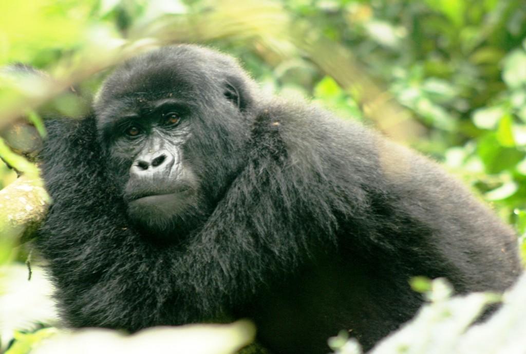 Gorilla Trekking Nkuringo
