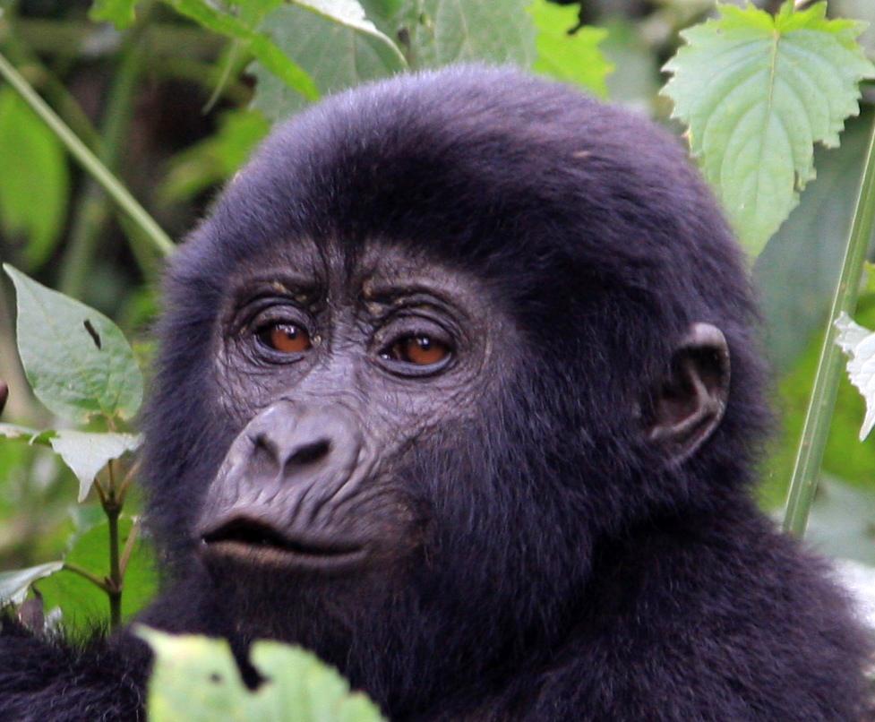 Baby Gorilla Close up
