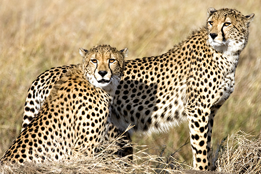 Beautiful Cheetahs In The Wild
