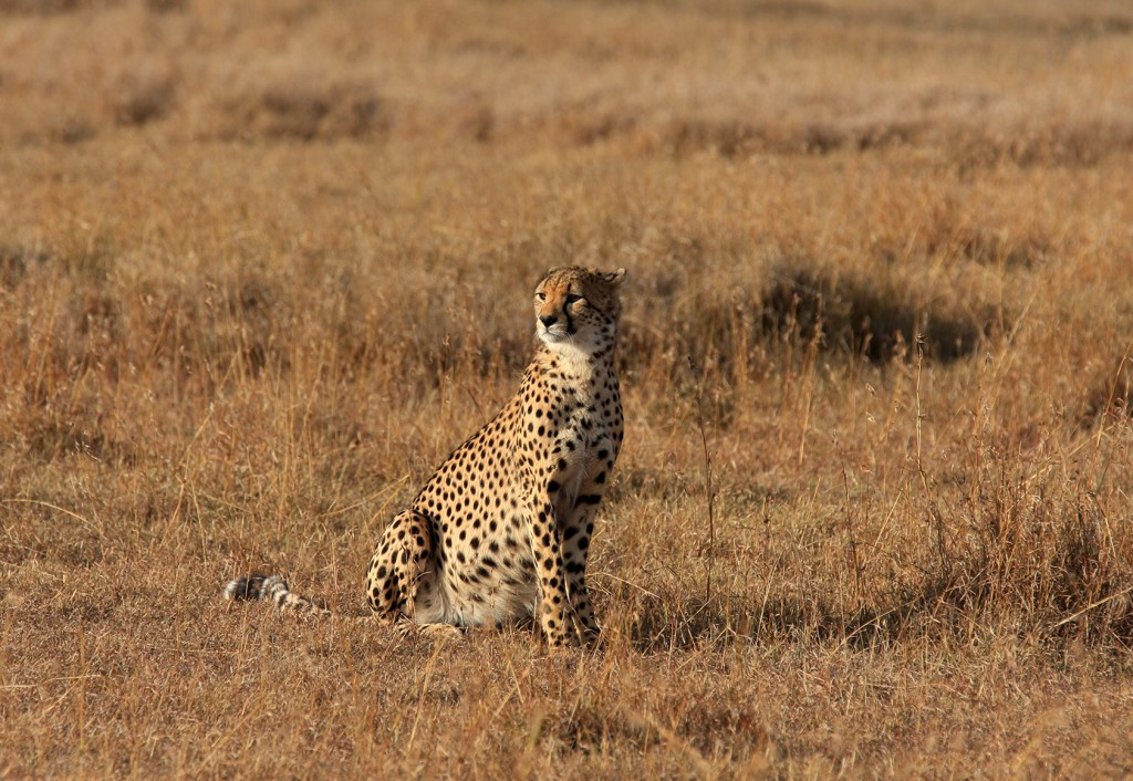 a Beautiful Cheetah In The Wild