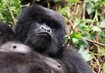 Meet the Hirwa Group of Gorillas