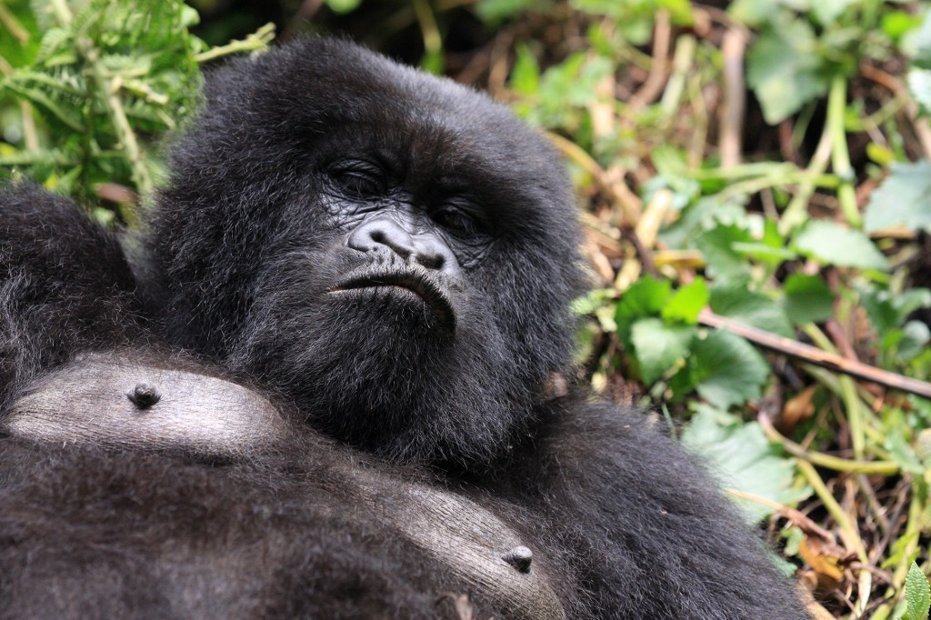 Meet the Hirwa Group of Gorillas