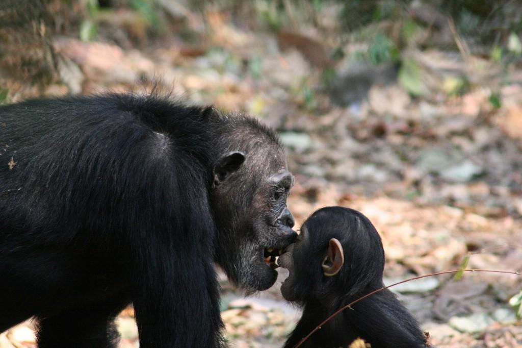 Chimpanzees Playing