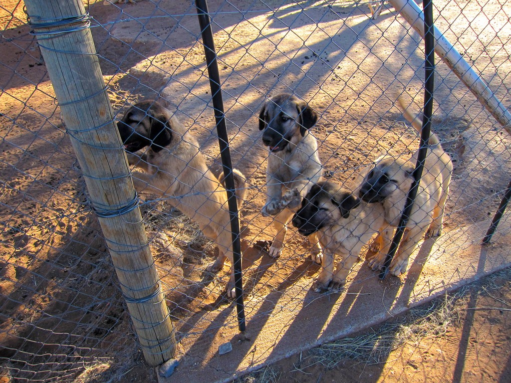 Future Livestock Guarding Dogs of Namibia