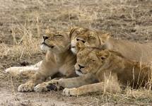 The Lions Guardians