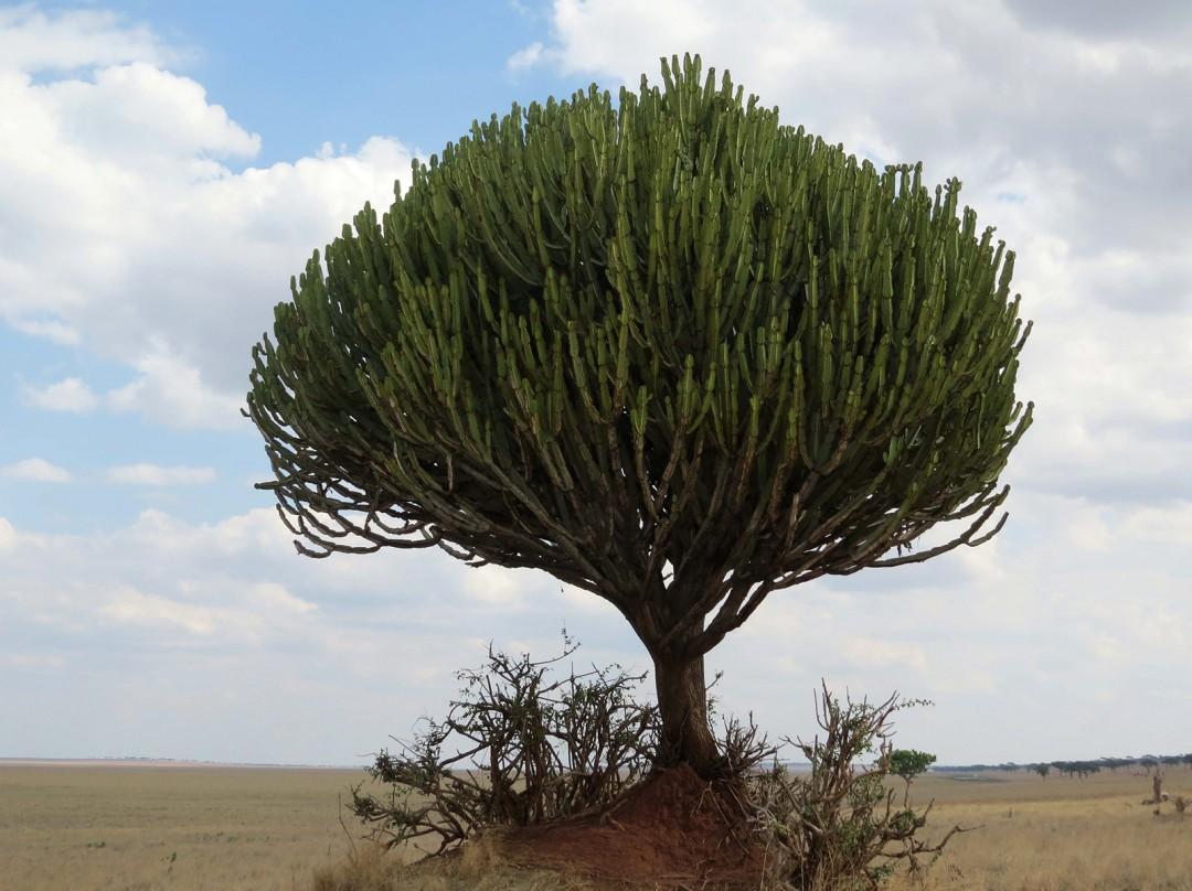 Ngorongoro - Candelabra Tree