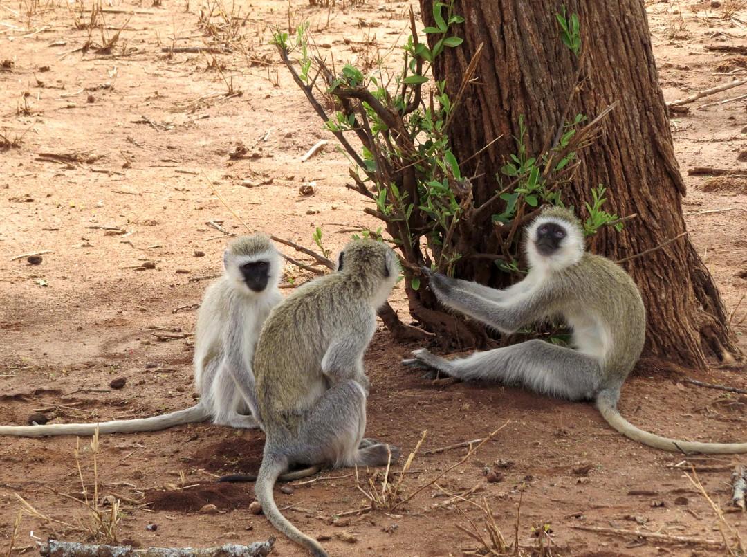 Ngorongoro - Vervet Monkeys