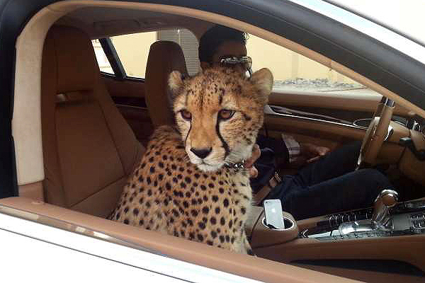 CHEETAHS ARE NOT PETS