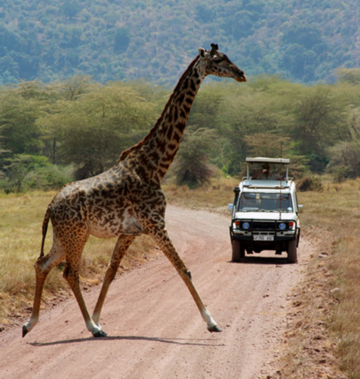 Giraffe Crossing Road