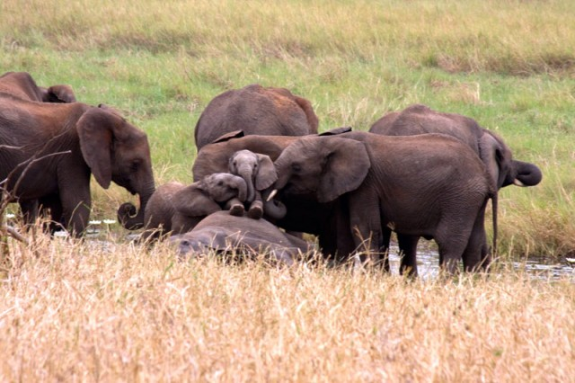Serengeti Elephant Family