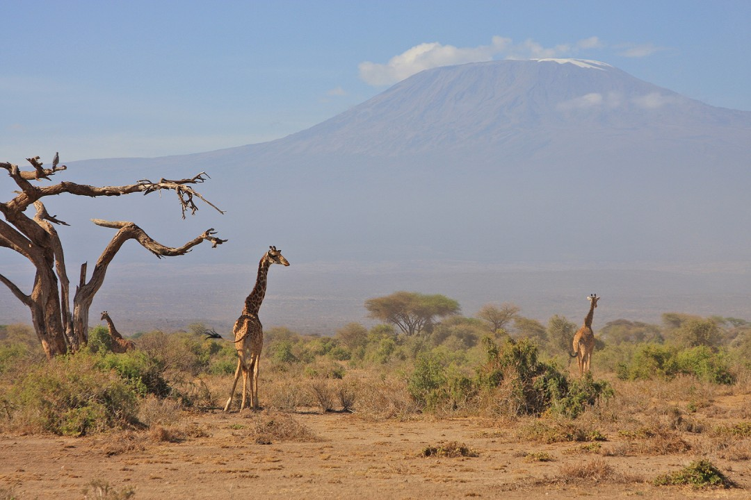 Giraffes In the Shadow of Mt. Kilimanjaro