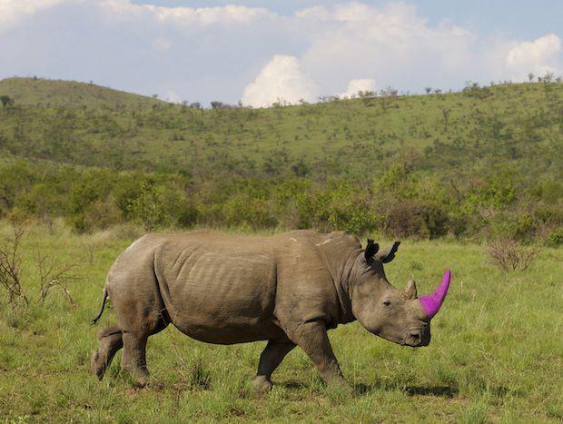 Dyed Rhino Horn