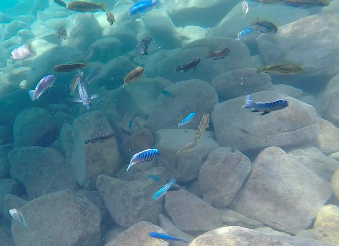 Lake Malawi Fish