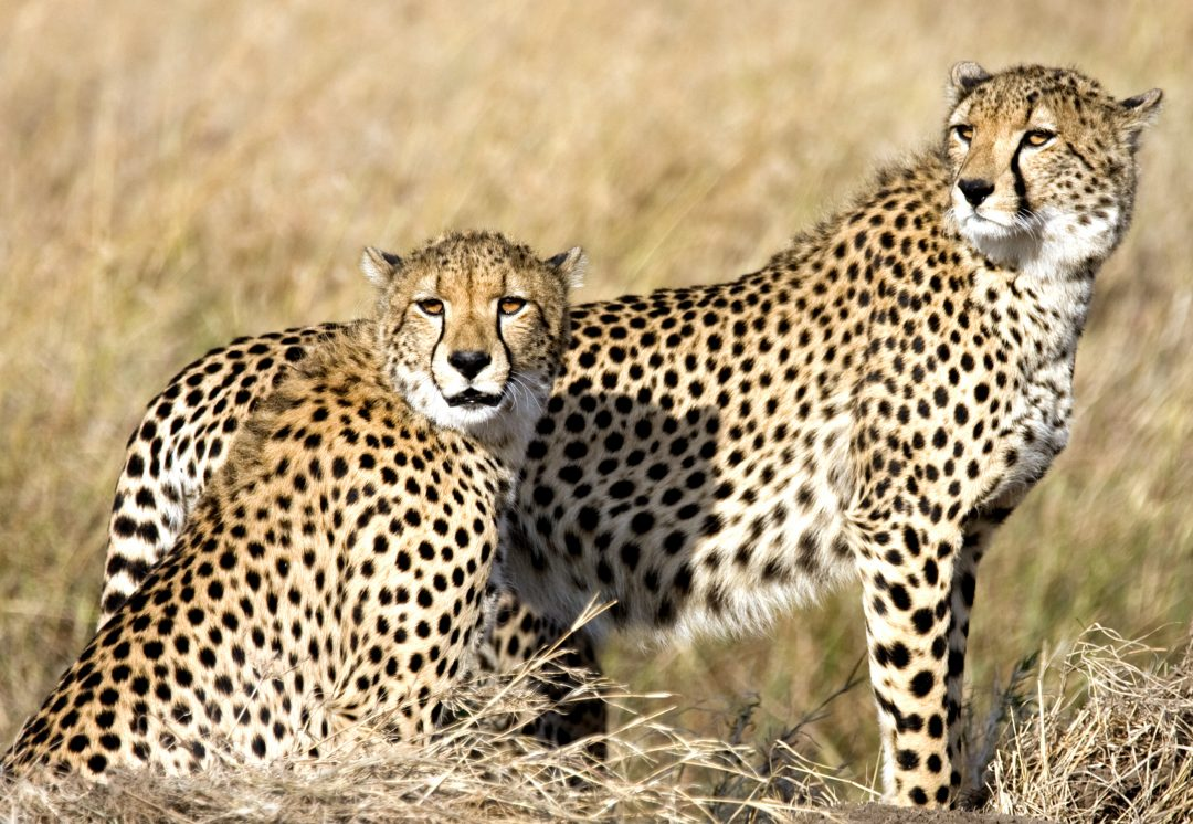 Cheetah featured image